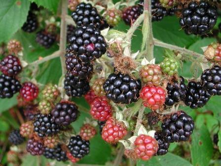 yusef komunyakaa blackberries Wilbur, in its celebration of the last 60 years of american poetry, along with rita  dove, yusef komunyakaa, mark strand, rachel hadas, and other poets.